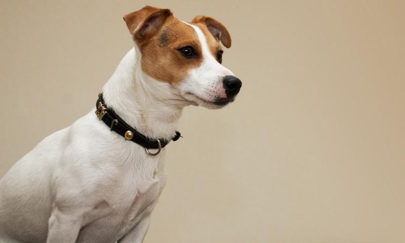 مجلس كوكب المحلي:لمن يقومون بتربية الكلاب والشروط والقيود التي يفرضها قانون تنظيم المراقبة على الكلاب